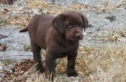 Good looking Labrador Retriever puppies for sale