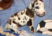Black and White Great Dane puppies for sale