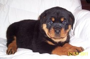 Black Rottweiler puppies for sale