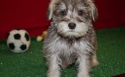 Nice Miniature Schnauzer puppies for sale