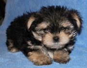 Male Yorkshire Terrier puppies for sale