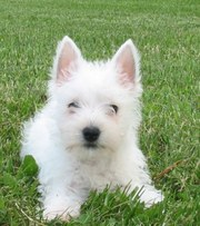Pure White West Highland White Terrier puppies.