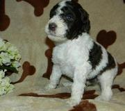 Little Standard Poodle puppies for sale