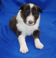 Female Shetland Sheepdog puppies for sale
