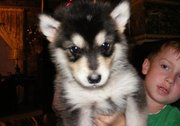 Fantatic laskan Malamute puppies for sale